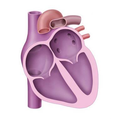 Herzschema, Kammern und Vorhoefe